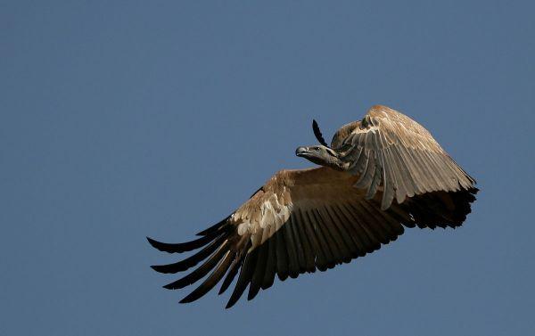 The Cape Vulture