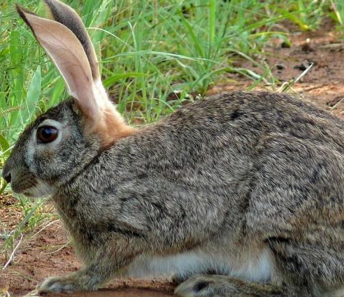 The Riverine Rabbit